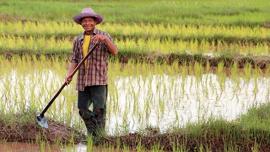 возделывает рис