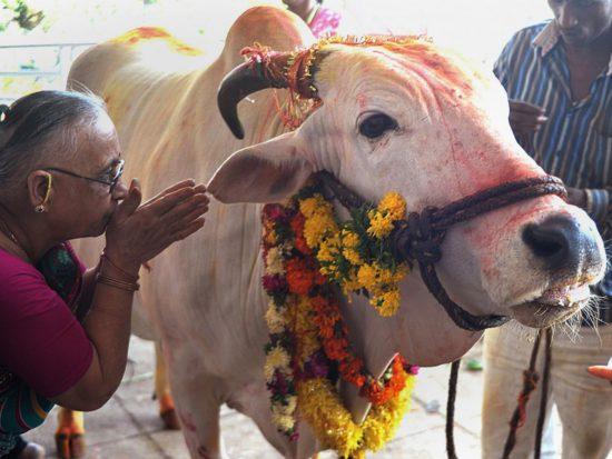священное животное Индии