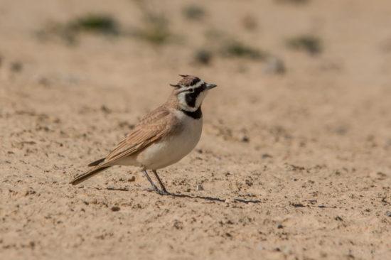 птицы Монголии