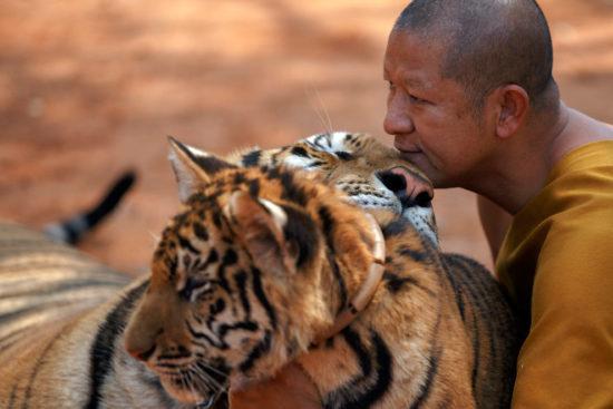 Монах с тиграми в монастыре в Тайланде