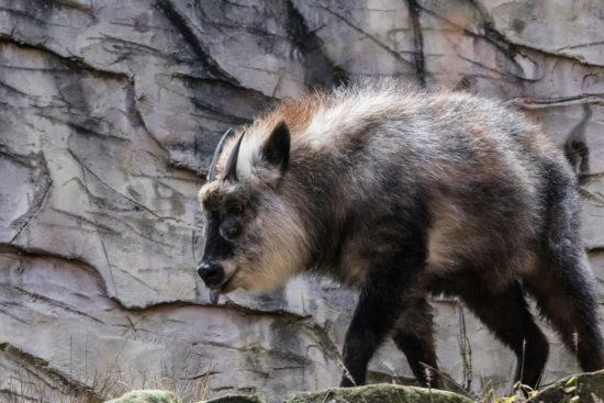 японская антилопа