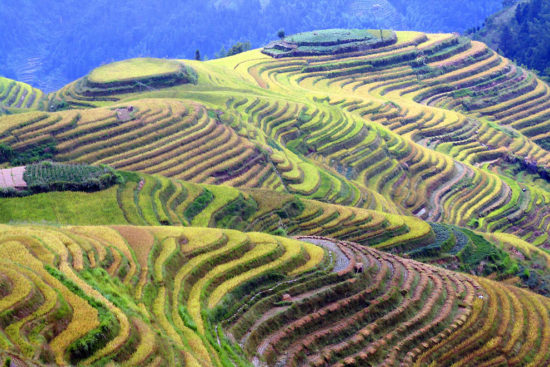 рисовые плантации