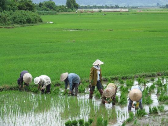 возделывание риса