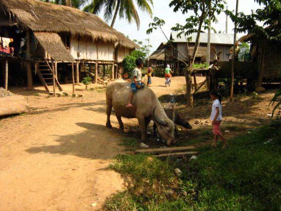 домашний скот в Азии