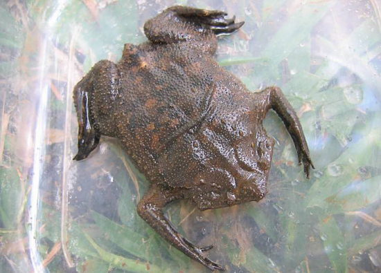 жаба пипа