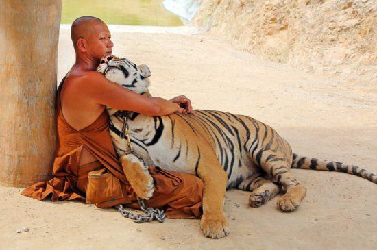 послушник тхеравады с тигром
