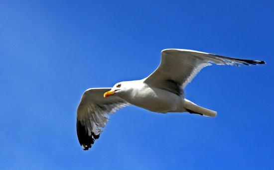 птица парит в небе