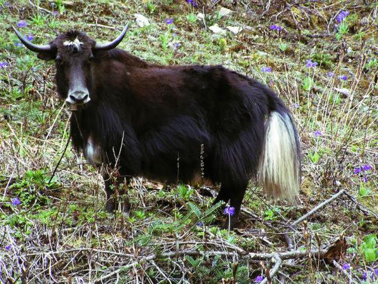 гибрид коровы и яка