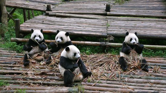 панды