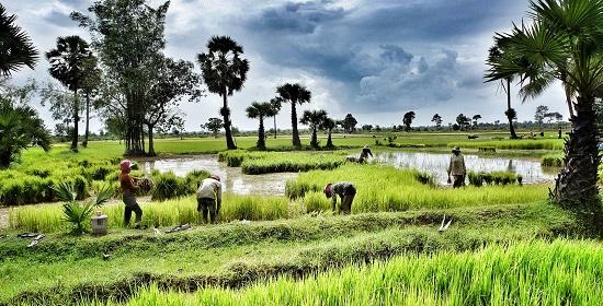 возделывают рис