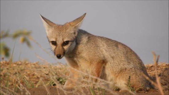 разновидность лисы
