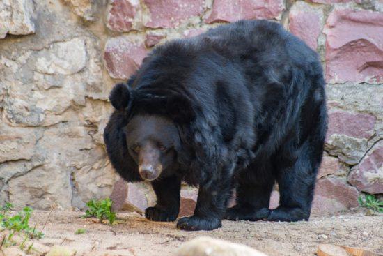 медведь азиатский
